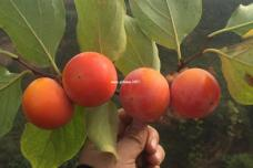 正宗临潼火晶柿子天然生长