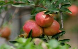 临潼果农教你秋季怎么保存石榴看看下面实用的方法