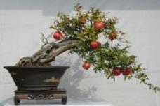 用压枝法培育出美美的石榴盆景